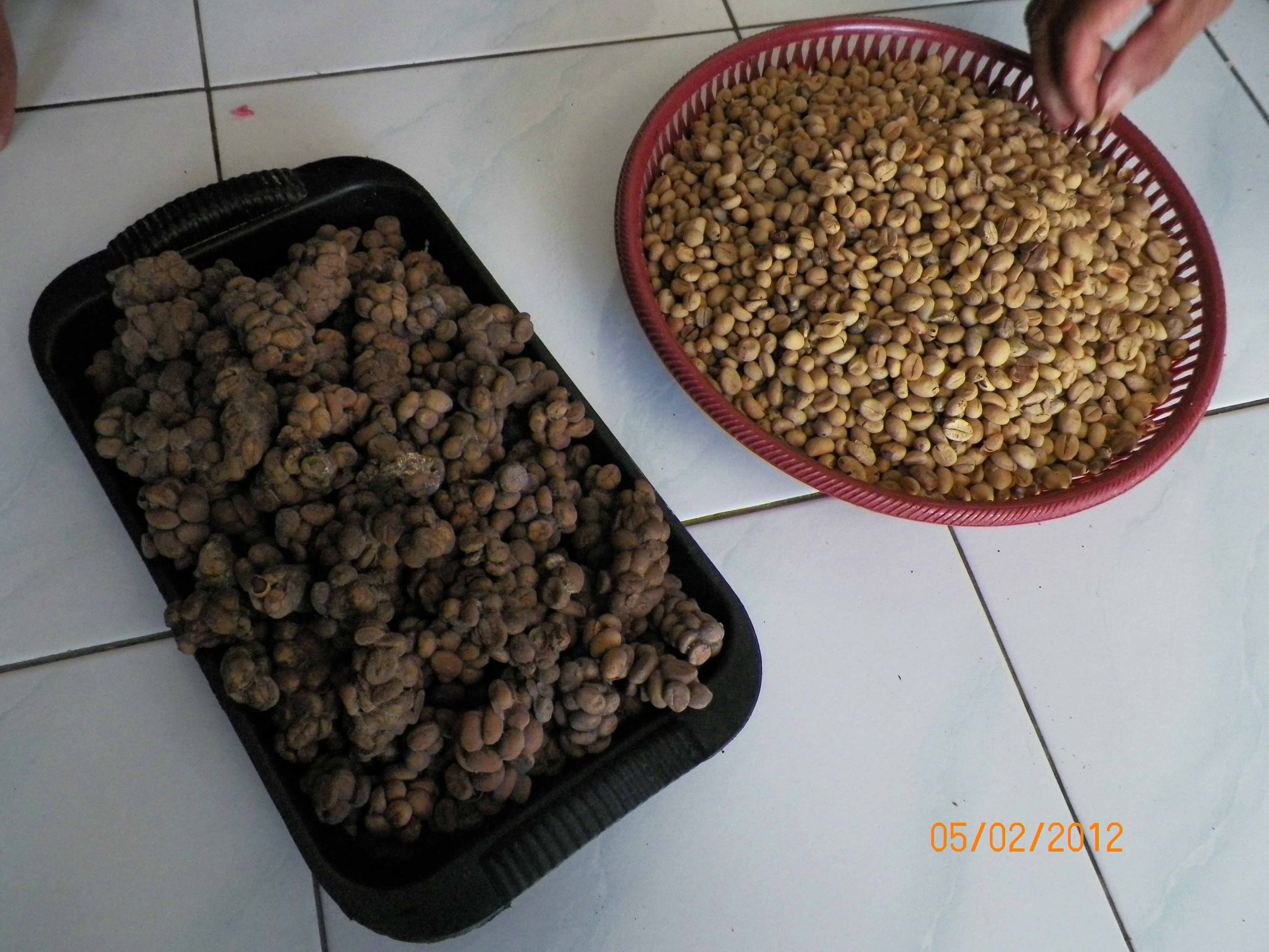 how to make kopi luwak